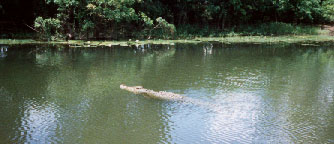but this saltwater Croc was in the water! (lucky again)