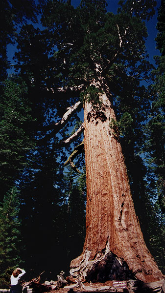 The Grizzly Giant tree is over 2700 years old